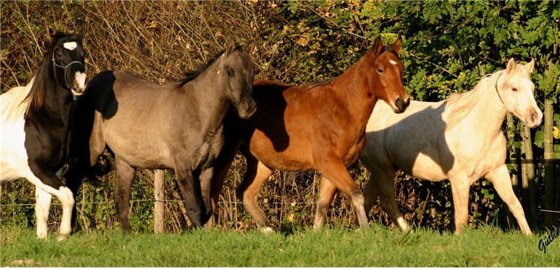 Quarter horse deckhengste homozygot black