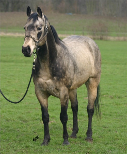 Horses That Are Rearing The Three Color Paint